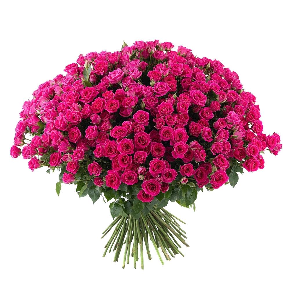 Малиновая кустовая роза